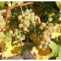Sauvignon Blanc (3)